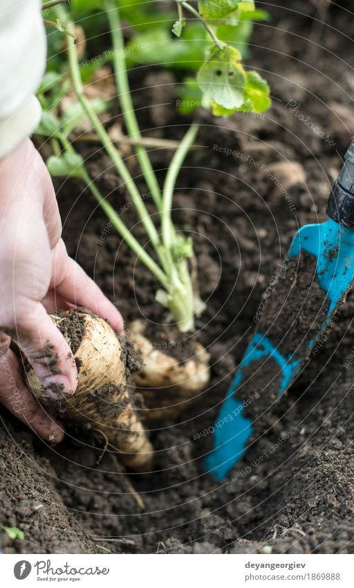 Close up parsnips in the garden Vegetable Vegetarian diet Summer Garden Gardening Hand Nature Plant Earth Leaf Wood Fresh Natural Root food healthy Organic