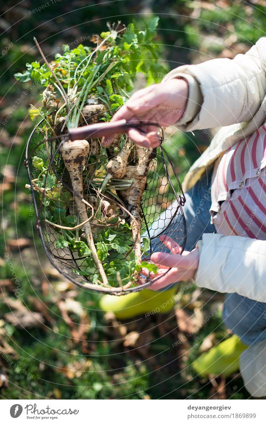 Woman hold parsnips in basket in the garden Vegetable Fruit Vegetarian diet Garden Gardening Adults Hand Plant Fresh Natural Brown Green White Root Basket