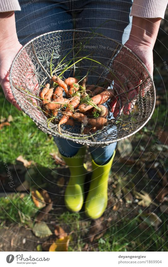 Carrots in metal basket on the garden Vegetable Nutrition Vegetarian diet Diet Garden Gardening Nature Plant Leaf Wood Fresh Natural Green Basket Organic food