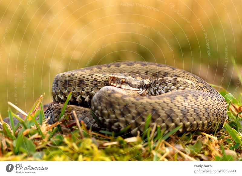 common crossed adder basking Woman Nature Beautiful Animal Adults Environment Natural Brown Wild Fear Wild animal Dangerous Photography Living thing European