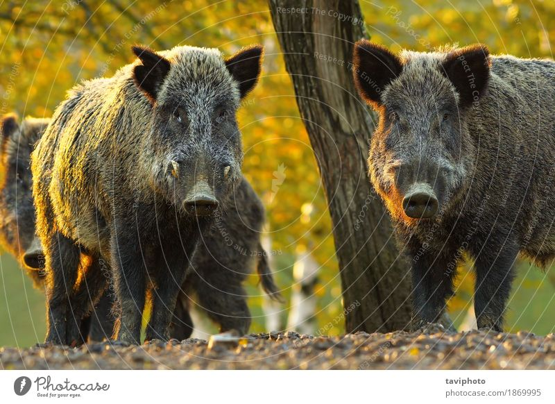 curious wild boars Face Playing Hunting Camera Man Adults Teeth Environment Nature Animal Autumn Tree Forest Fur coat Hair Dark Large Cute Strong Wild Brown