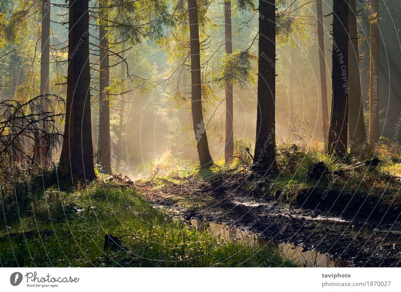 beautiful morning light in spruce forest Beautiful Adventure Sun Environment Nature Landscape Autumn Fog Tree Park Forest Lanes & trails Growth Natural Green