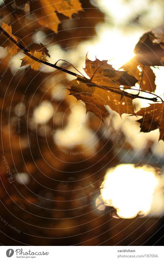 Nature Sun Landscape Leaf Dark Black Environment Autumn Gray Brown Glittering Park Illuminate Gold Bushes Beautiful weather