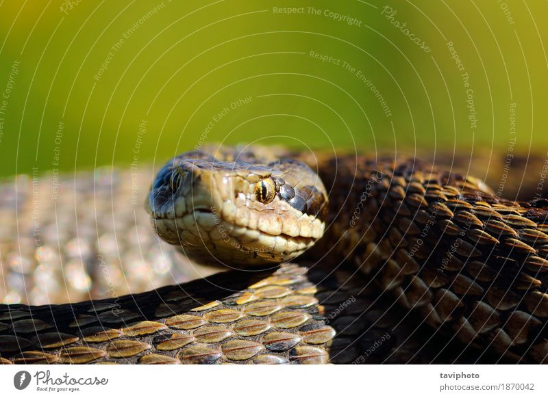 portrait of the rarest snake in europe Woman Nature Colour Animal Adults Meadow Small Brown Wild Fear Europe Dangerous Photography Living thing European Poison