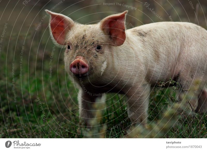 portrait of young pig Meat Happy Beautiful Face Industry Baby Nature Animal Stand Dirty Small Funny Cute Pink White Colour Pigs Farm head livestock Piglet
