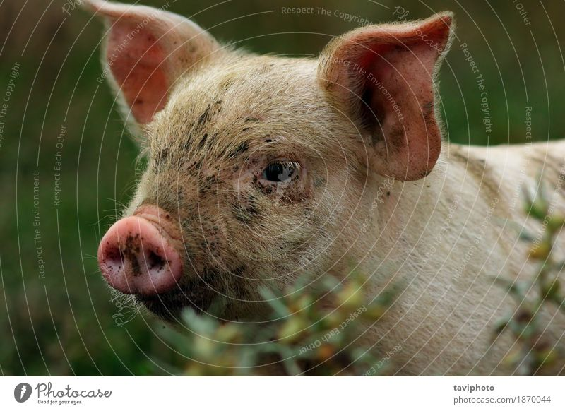 portrait of young pink pig Meat Happy Beautiful Industry Nature Animal Observe Dirty Small Funny Curiosity Cute Pink White Colour Pigs Farm Agriculture Piglet