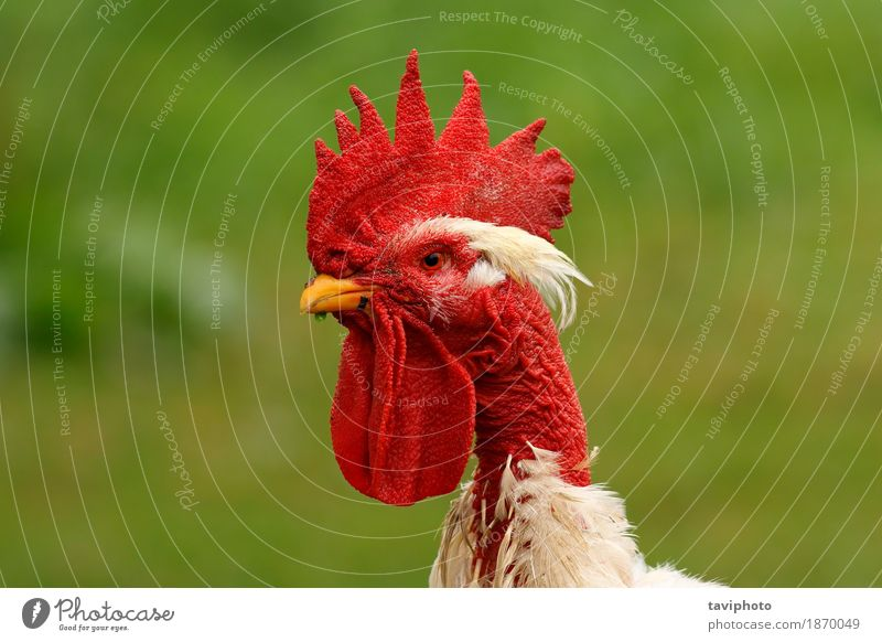 rooster portrait on green background Beautiful Garden Man Adults Nature Landscape Animal Bird Stand Natural Green Red White Pride Rooster poultry Agriculture