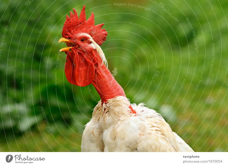 shaggy rooster portrait Beautiful Man Adults Nature Animal Bird Stand Natural Red Colour Rooster Farm agriculture background poultry head Chicken Domestic one