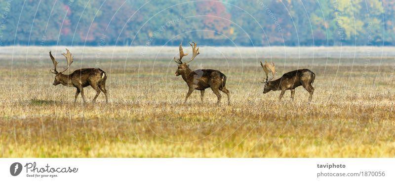three fallow deer stags Man Adults Nature Landscape Animal Grass Park Meadow Forest Fur coat Herd Observe Natural Wild Brown Deer wildlife Fallow land field
