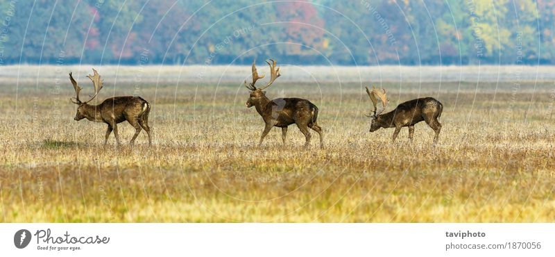three fallow deer stags Nature Man Landscape Animal Forest Adults Meadow Natural Grass Brown Wild Park Observe Seasons Mammal Autumnal