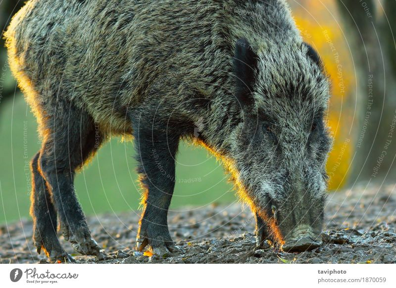 wild boar closeup at dawn Nature Colour Beautiful Animal Forest Face Environment Natural Brown Wild Europe Dangerous Large Living thing European Hunting