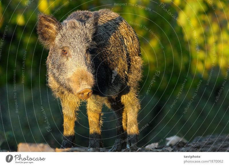 wild hog in a glade Hunting Environment Nature Animal Autumn Forest Fur coat Hair Dark Large Wild Brown Green Dangerous Pigs scrofa Glade Snout sus wildlife