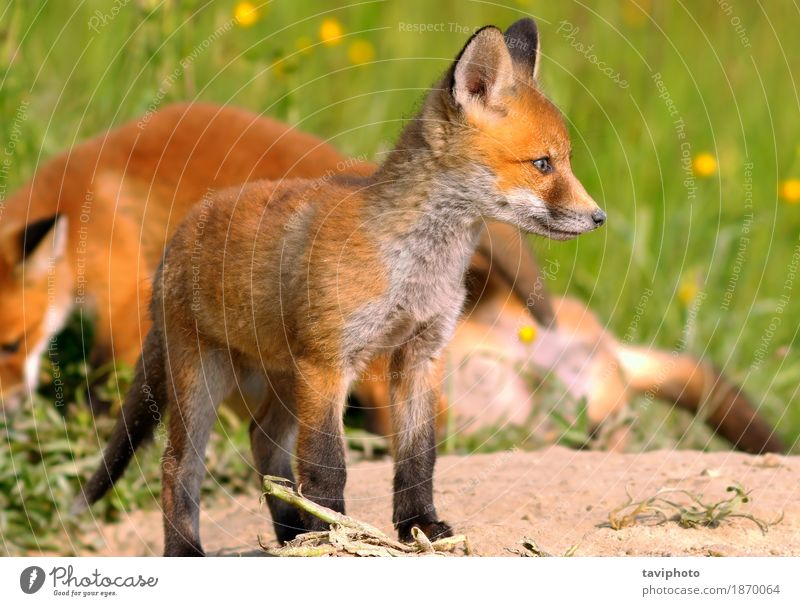 young european fox Nature Dog Colour Beautiful Green Red Animal Baby animal Environment Natural Small Brown Wild Photography Cute