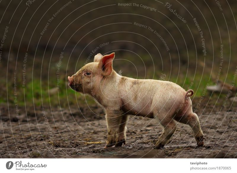 young pig near the farm Meat Happy Beautiful Baby Nature Landscape Animal Earth Pet Stand Dirty Free Small Funny Cute Green Pink White Colour Farm Pigs Mammal