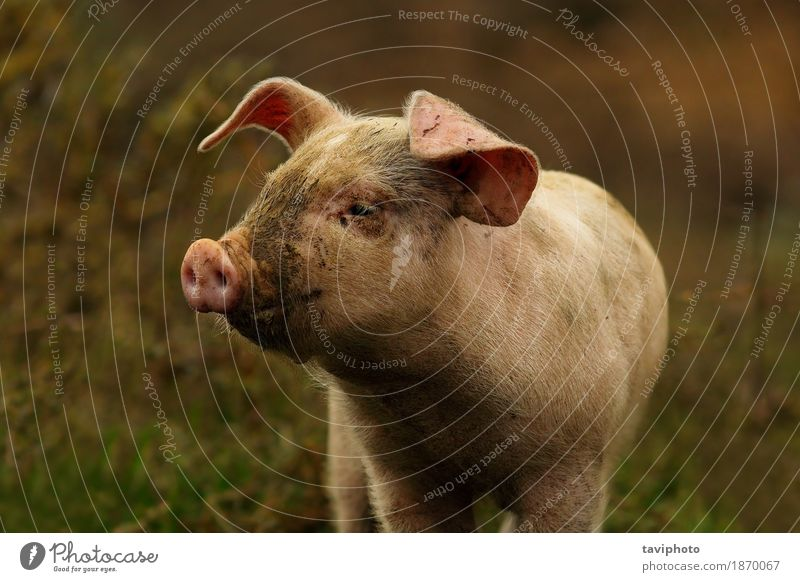 young pink pig portrait Meat Joy Beautiful Group Animal Baby animal Stand Dirty Small Funny Cute Pink Black White Colour Pigs Farm agriculture Mammal Domestic
