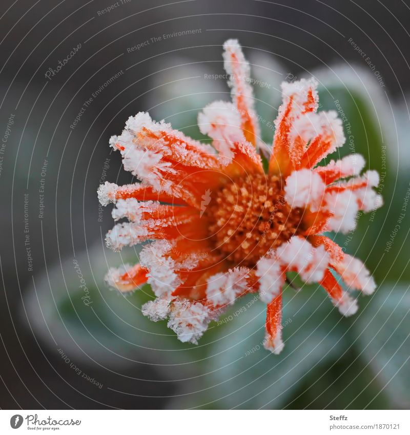 Nature Plant Beautiful Flower Winter Cold Blossom Autumn Orange Weather Ice Blossoming Climate Transience Frost Frozen