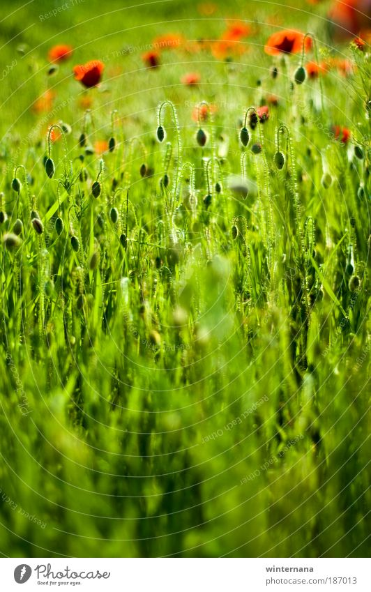 Green Eternal Environment Nature Plant Earth Spring Weather Beautiful weather Blossom Wild plant Poopy Field Emotions Happiness Enthusiasm Optimism