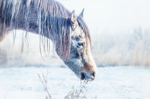 winter horses Lifestyle Winter Nature Meadow Field Animal Horse 1 Horse's head Snow Cold Grass Colour photo Exterior shot Copy Space left Silhouette