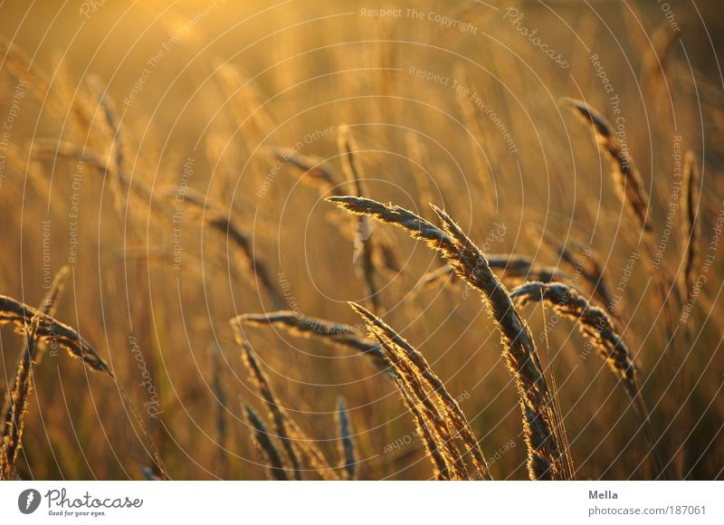 Nature Plant Calm Meadow Grass Warmth Moody Brown Field Environment Gold Growth Natural Idyll Illuminate Grassland