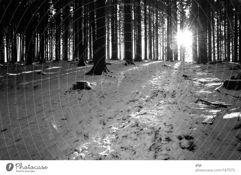 b&w christmas Nature Winter Snow Tree Forest Relaxation Leisure and hobbies Climate Environment Dark Bright Cold Frost Sun Pine Black & white photo Deserted
