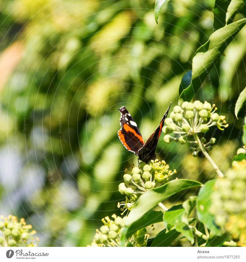from outside the forest I come here Summer Beautiful weather Ivy Animal Butterfly Wing Red admiral Insect 1 Flying Crouch Crawl Sit Esthetic Small Natural