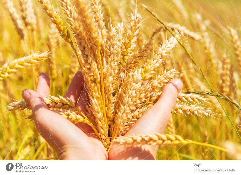 Wheat in the hands Woman Nature Plant Summer Green Hand Landscape Adults Yellow Autumn Meadow Natural Field Growth Gold Fingers