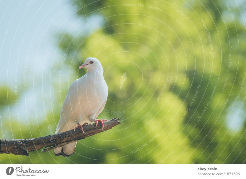 Single white dove on a branch Lifestyle Style Art Artist Animal Bird 1 Adventure Colour photo Multicoloured Close-up Detail Macro (Extreme close-up) Morning Day