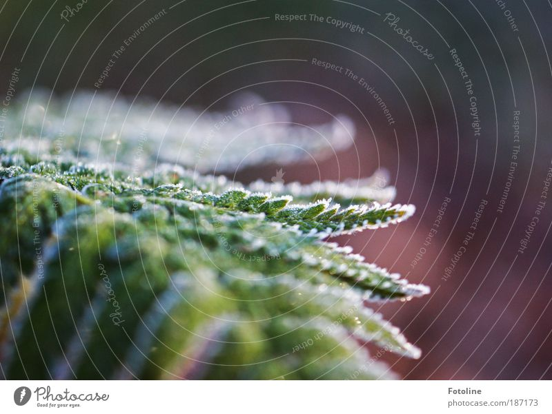 frosty fern Environment Nature Plant Elements Water Autumn Winter Climate Weather Beautiful weather Ice Frost Bushes Fern Leaf Park Cool (slang) Fresh Bright