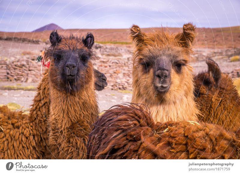 Brown lama alpaca herd Exotic Beautiful Face Group Nature Landscape Animal Meadow Fur coat Herd Stand Cuddly Funny Cute Black Colour Alpaca Farm hair Llama Peru