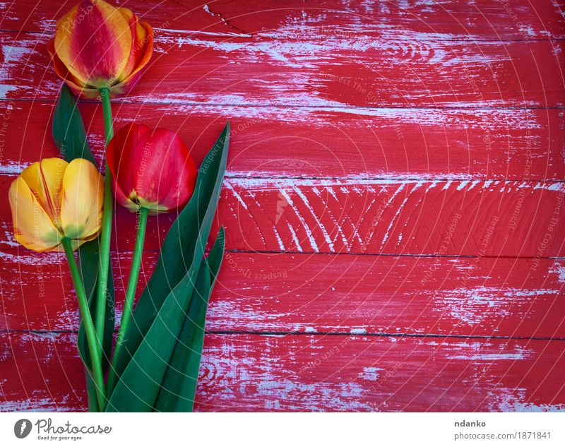 Three tulips on a red wooden background Decoration Easter Wedding Birthday Mother Adults Spring Flower Tulip Blossom Bouquet Wood Love Old Above Retro Speed