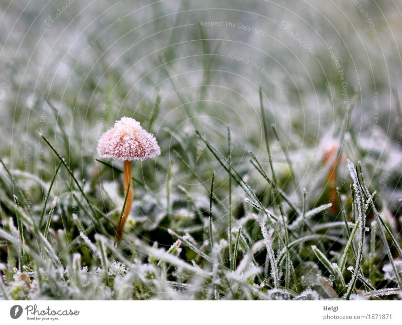 dressed up in a festive hat. Environment Nature Plant Autumn Ice Frost Grass Garden Freeze Stand Growth Esthetic Exceptional Beautiful Uniqueness Cold Small