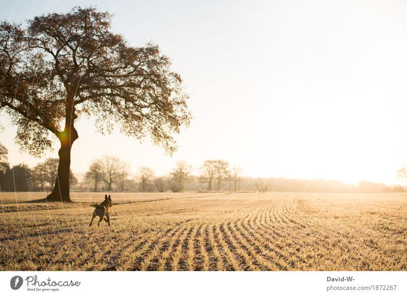 Freedom - dog runs onto the field in sunlight Dog Running Shepherd dog Joy Sunlight Sunset tree take a walk Pet out Animal Colour photo Exterior shot Walking