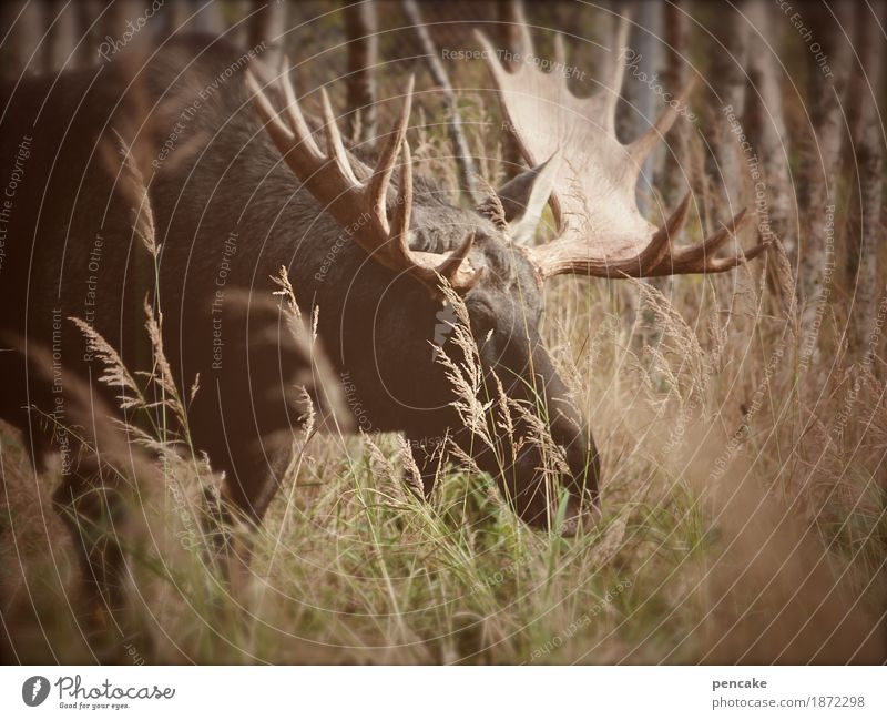shovel excavator Nature Landscape Elements Earth Autumn Tree Grass Bushes Forest Animal Wild animal 1 To feed Smiling Exceptional Gigantic Elk Bull Moose