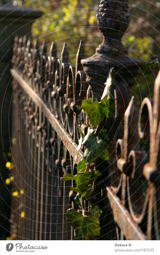 fenced Living or residing Garden Autumn Beautiful weather Plant Ivy Park Growth Point Thorny Brown Green Safety Protection Romance Conscientiously Orderliness
