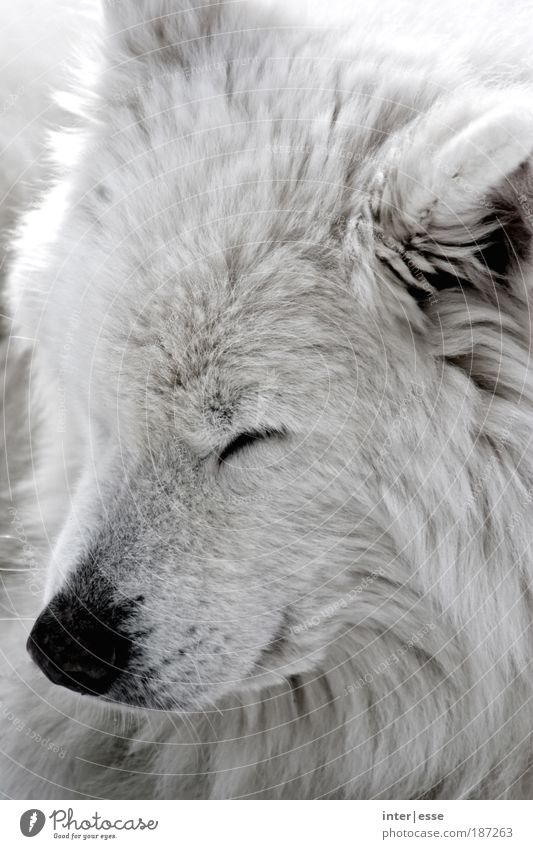 winter dog Animal Pet Dog Pelt 1 Cuddly Natural Warmth Soft White Safety (feeling of) Love of animals Contentment Break Calm Colour photo Subdued colour