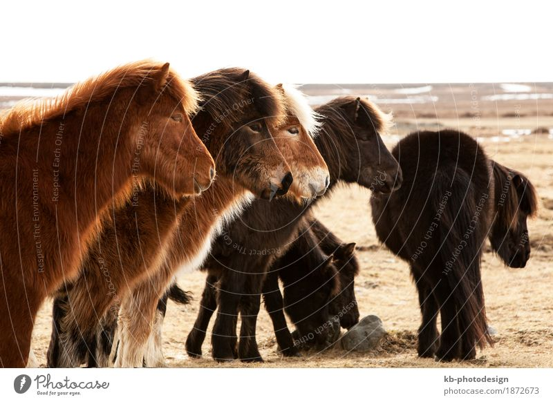 Herd of Icelandic ponies on a meadow Winter Horse Vacation & Travel Iceland pony Iceland ponies brown mane Bangs Icelanders ride horses animal mammal breeding