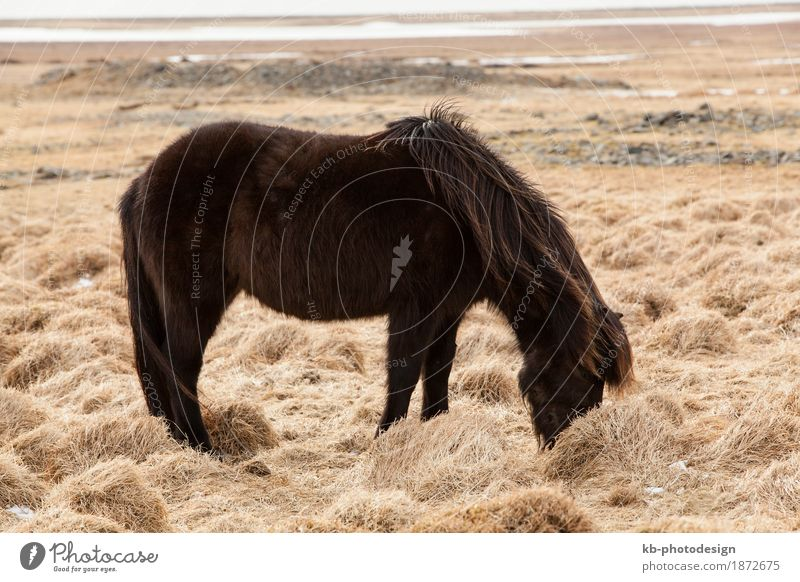 Portrait of a young black Icelandic horse Ride Vacation & Travel Tourism Adventure Far-off places Winter Horse 1 Animal Iceland pony Iceland ponies Icelander