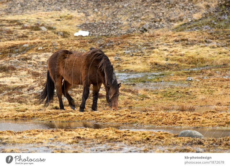 Wild brown Icelandic horse in spring Vacation & Travel Tourism Adventure Far-off places Winter Pet Horse Iceland pony Iceland ponies Icelander snow weather mane