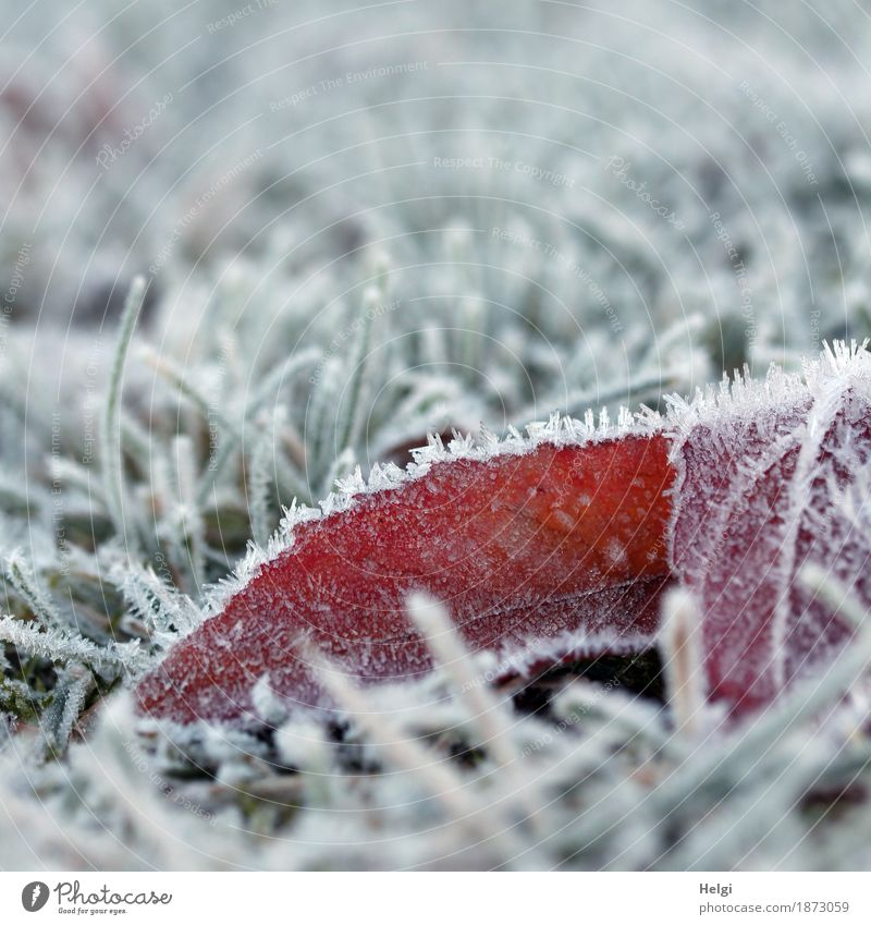 just cold ... Environment Nature Plant Winter Ice Frost Grass Blossom Garden Freeze Lie Authentic Exceptional Cold Small Natural Gray Green Red White Calm