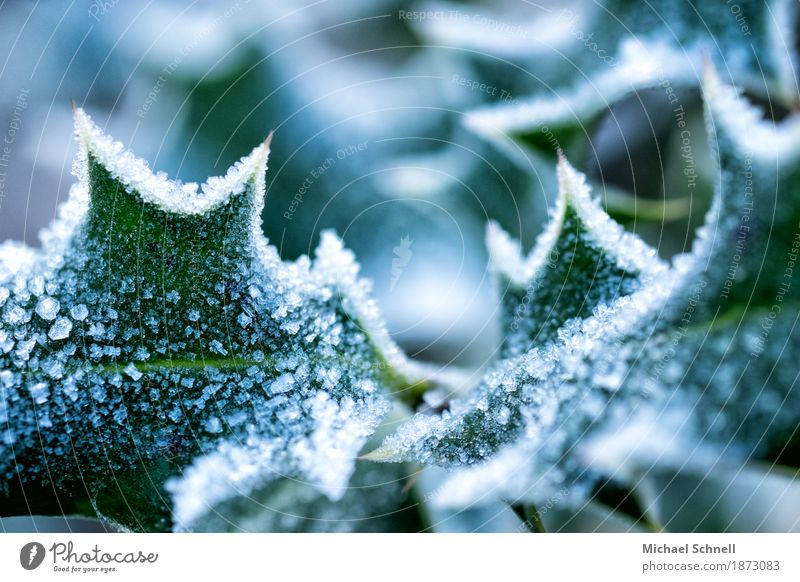 ice-cold Environment Nature Plant Ice Frost Bushes Leaf Foliage plant Holly Garden Cold Thorny Green White Pain Dangerous Climate Colour photo Close-up