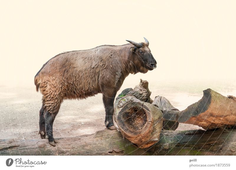 Takin on wooden tree trunk Nature Animal Forest Wood Stand takin mishmi takin budorcas taxicolor bovine chamois gnu goat goat antelope Tree trunk laterally