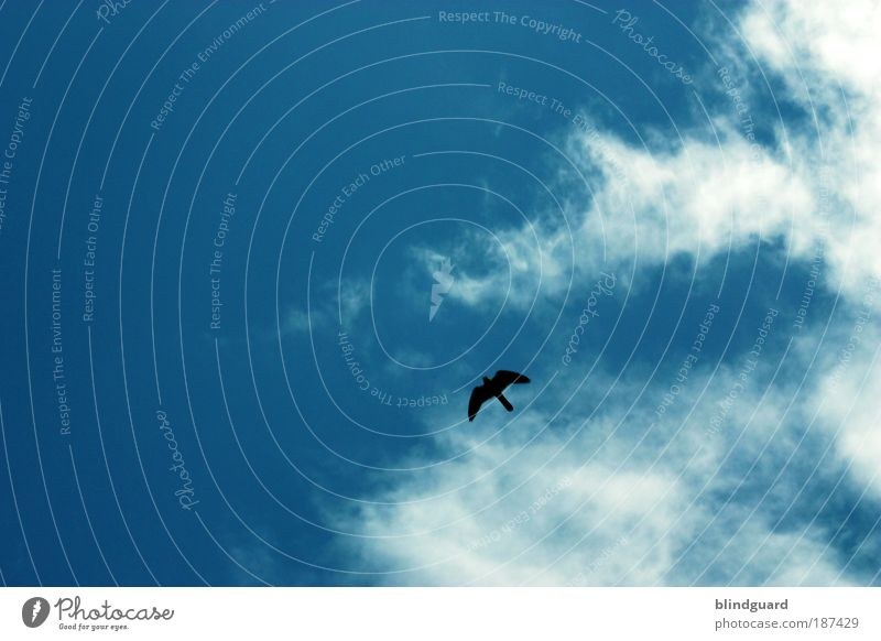 Nature Sky White Blue Summer Black Clouds Animal Freedom Air Bird Environment Flying Wild animal Hunting