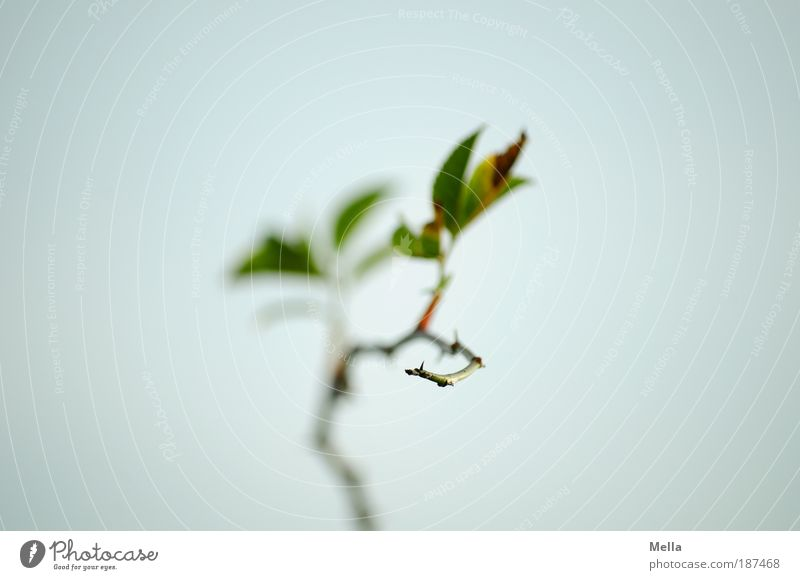 Nature Sky Plant Calm Leaf Loneliness Gray Moody Environment Rose Growth Romance Point Long Wild rose Thorn