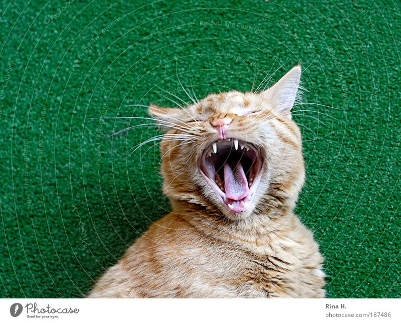 Fauch... or gaeähn? Cat Aggression Threat Green Show your teeth Tongue Cat's tongue Yawn Artificial lawn Fatigue Love of animals Pelt Soft Colour photo