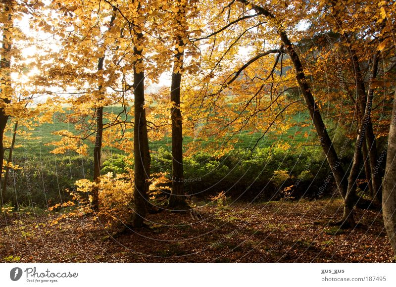 Edge of trees in Fall Environment Nature Autumn Beautiful weather Tree Grass Leaf Forest Brown Yellow Gold Green White Colour photo Multicoloured Exterior shot
