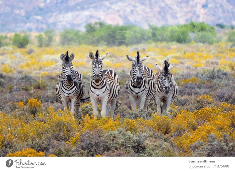 Zebras in Southafrica Environment Nature Animal Wild animal Zoo 4 Group of animals Herd Stand Esthetic Far-off places Yellow Green Black White Happiness