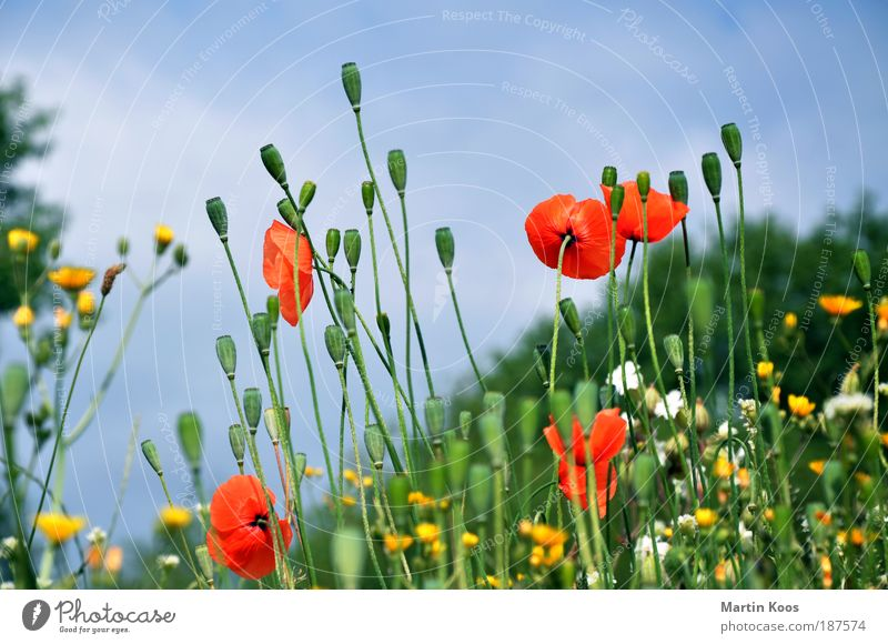 Nature Flower meadow Beautiful Flower Plant Red Yellow Blossom Multicoloured Esthetic Meadow Environment Poppy Seed Corn poppy Capsule