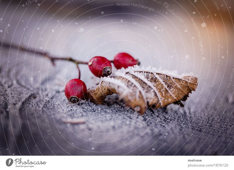 hurrah it snows Nature Sunlight Winter Beautiful weather Ice Frost Snow Snowfall Bushes Leaf Blossom Berries Rose hip Fruit Twigs and branches Tree stump