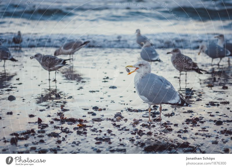 Seagulls in Binz I Bird Group of animals Flock Mussel Gull birds Winter Cold Blue Baltic Sea Rügen Beach Water Ocean Sand Foraging Walking Observe Beak To feed