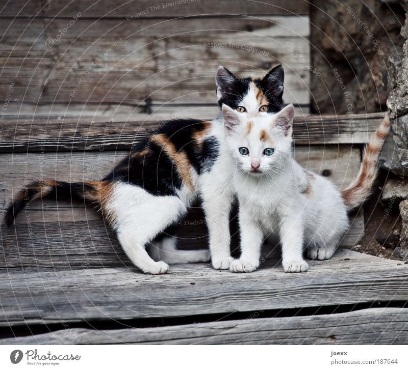 fosterlings Pet Cat 2 Animal Baby animal Looking Playing Small Curiosity Brown White Expectation Infancy Kitten wooden staircase Stairs Beautiful Watchfulness